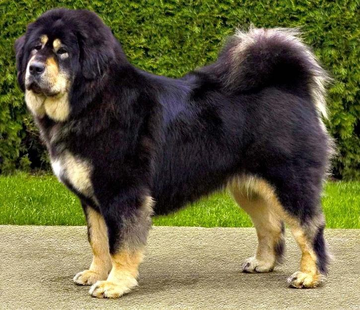 भारतीय कुत्ते की नस्ल गद्दी कुत्ता