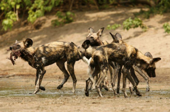 These dogs are the only canid -