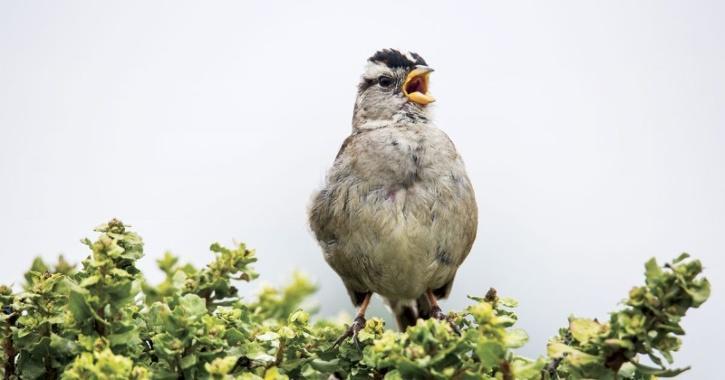 birds imitating human sounds to attract mate
