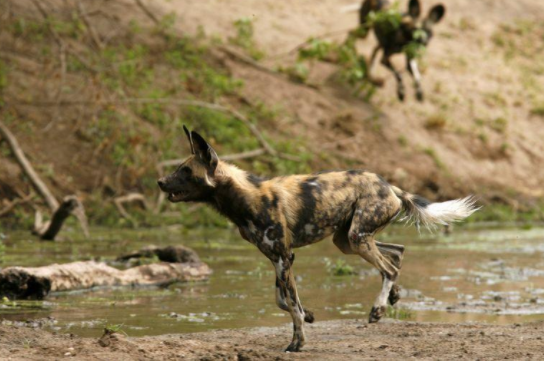 Critically endangered African wild dogs are very effective hunters with up to 60% of hunts ending in successful kills,