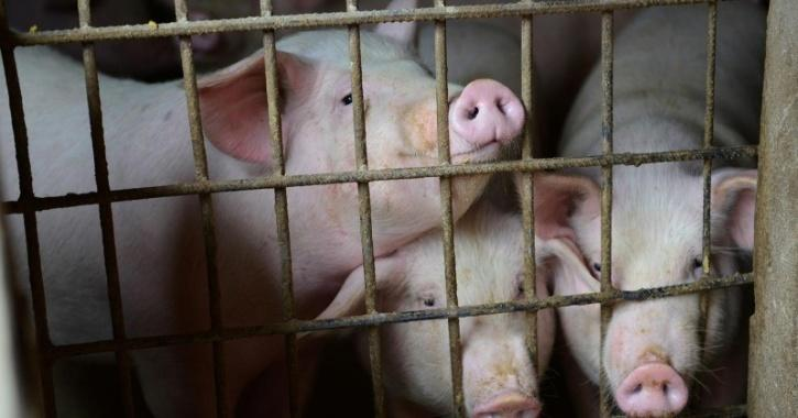 18,000 pigs die of African swine fever in Assam
