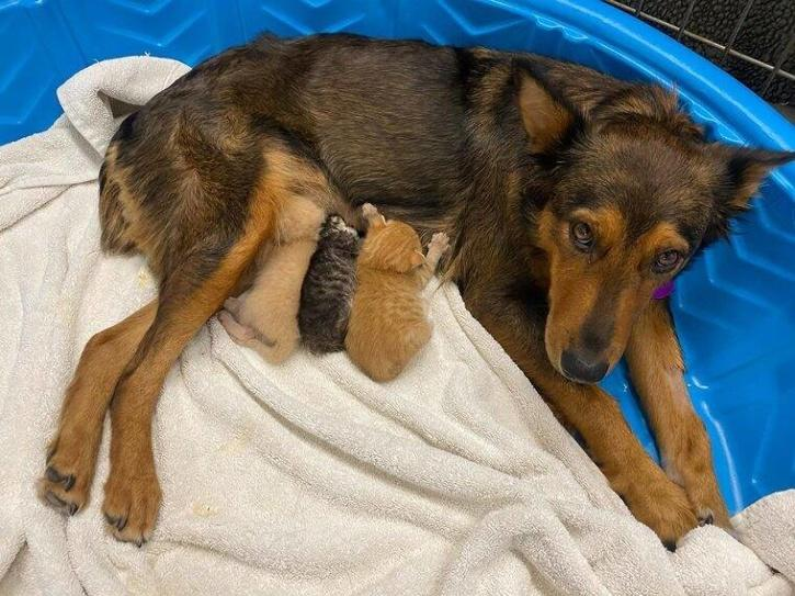 Dog with kittens