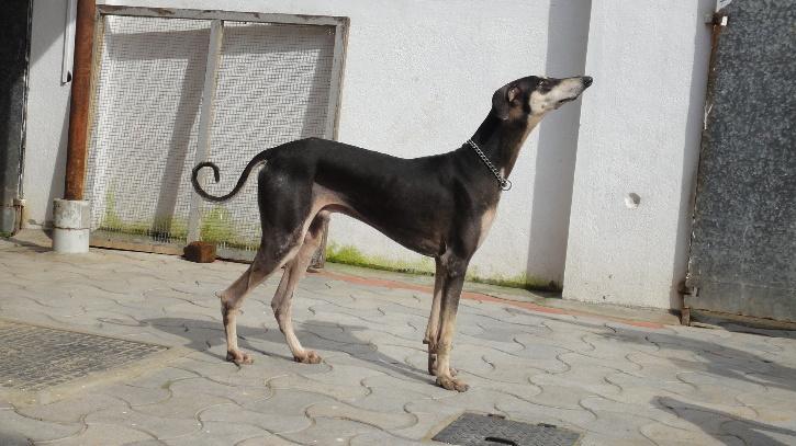 भारतीय कुत्ते की नस्ल कन्नी