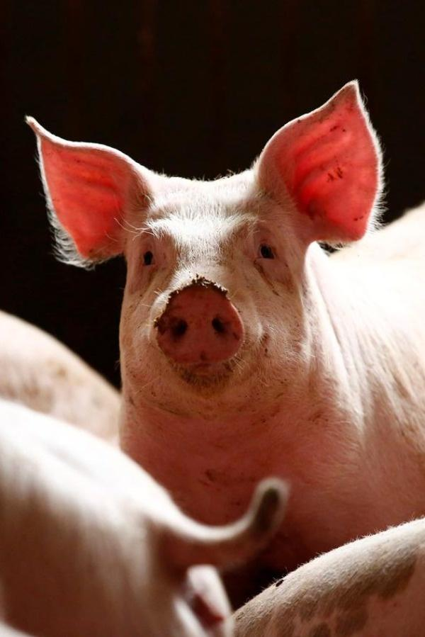 African swine fever, commonly found in pigs, has mortality rate of 90-100%