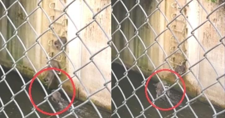 Raccoon mom saves baby