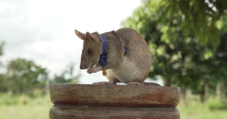 Magawa, a mine-sniffing rat, pictured in Cambodia