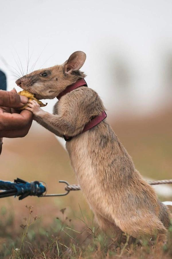Magawa, the mine-detecting rat given gold medal for bravery