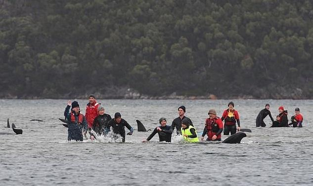 People helping stranded whales