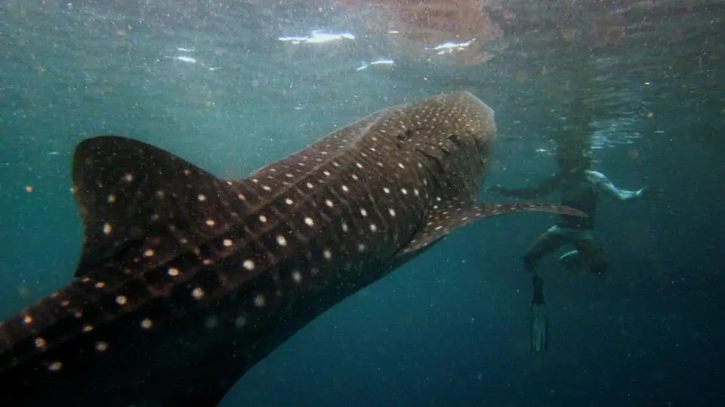 whale shark human encounter