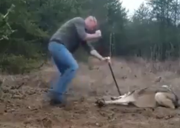 man saves wolf
