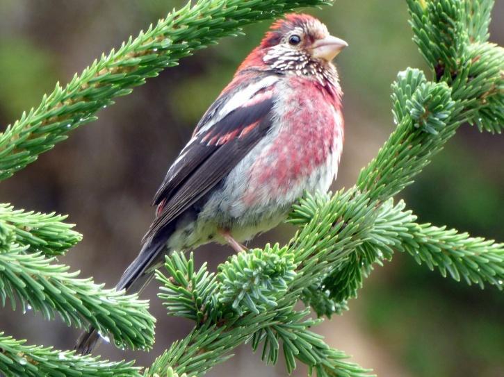 three-banded rosefinch