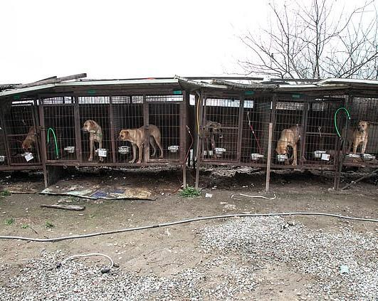 As many as 50 dogs were recued from a horrifying meat farm where they were forced to watch on as other pups were being slaughtered in South Korea.