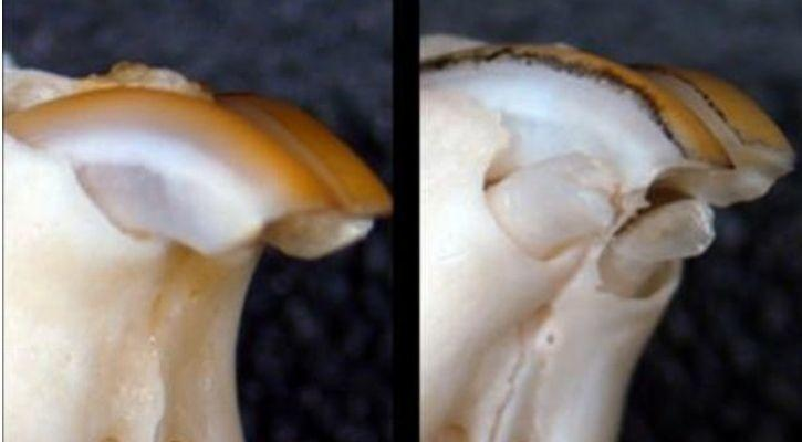 tooth regrow scientist