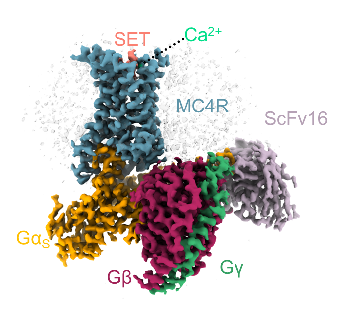 3D structure of a complex formed by the MC4 receptor (blue) and several proteins that it activates, with a setmelanotide molecule (pink) and a calcium ion (green) in the MC4