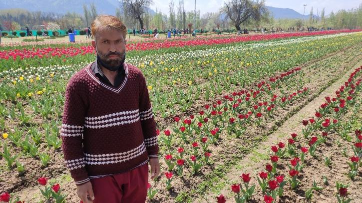 Tulip Gardener in Kashmir