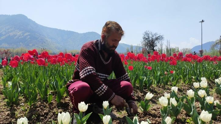 A day In The Life Of A Tulip Gardener in Kashmir