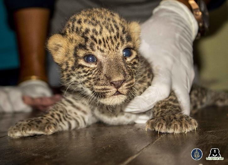 Leopard Cubs wildlife sos
