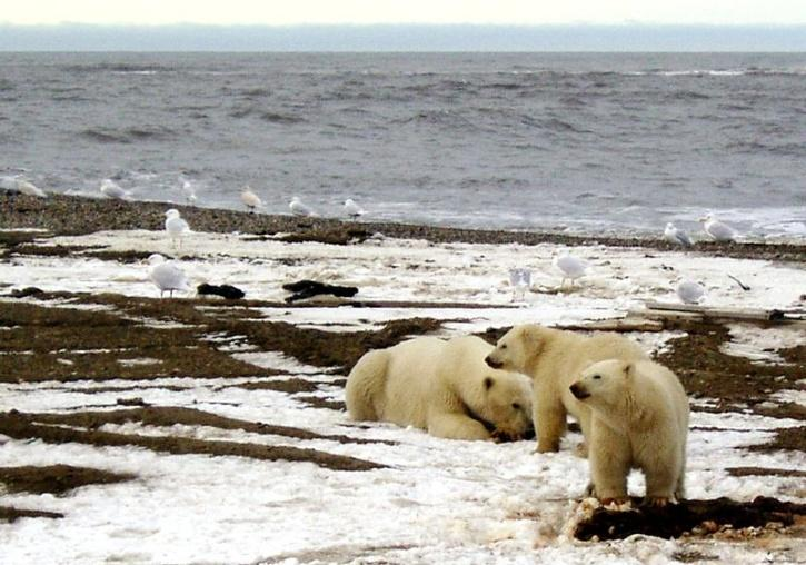 Rising temperatures is leading to dwindling sea ice, forcing polar bears to cut short the time they have to hunt seals, their preferred prey, and forage seabird eggs.