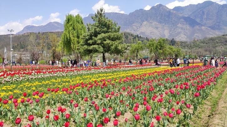 Life Of A Tulip Gardener in Kashmir