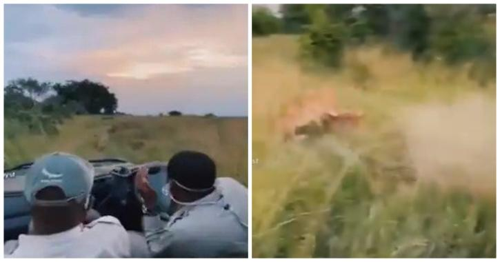 lion hunts prey in front of tourists