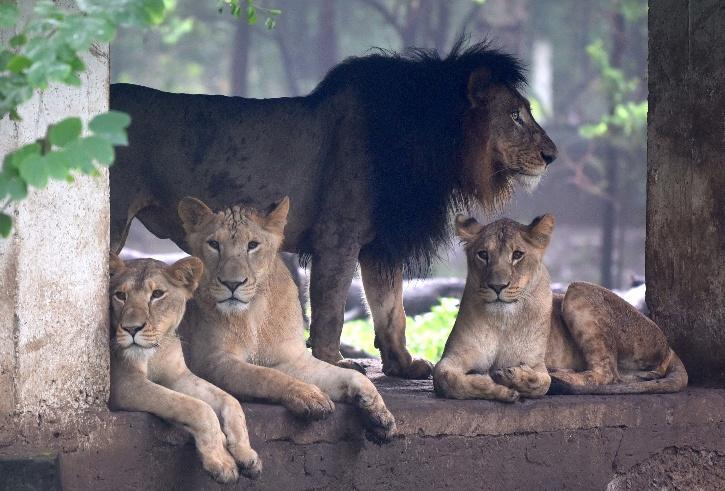 India lion population