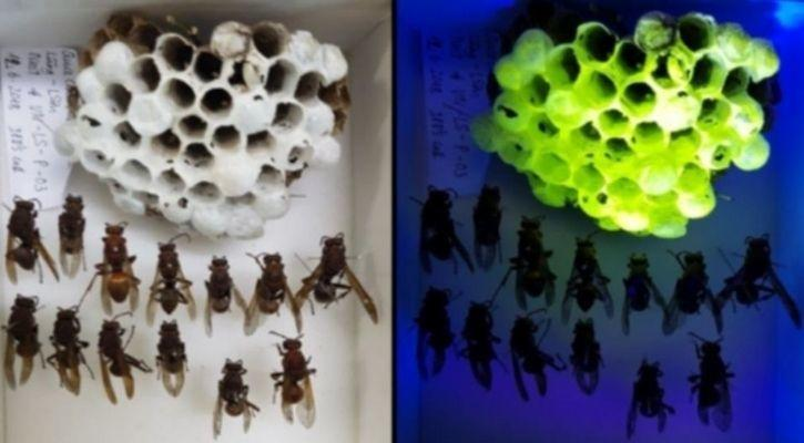 Scientists Discover Fluorescent Wasp Nests In Vietnam By Accident
