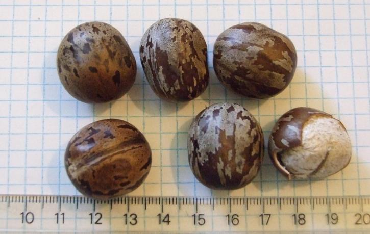 Seeds of Hevea Brasiliensis