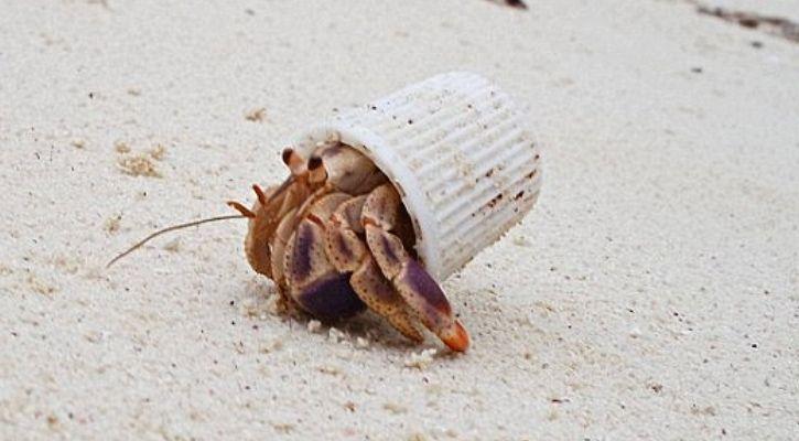 hermit crab plastic