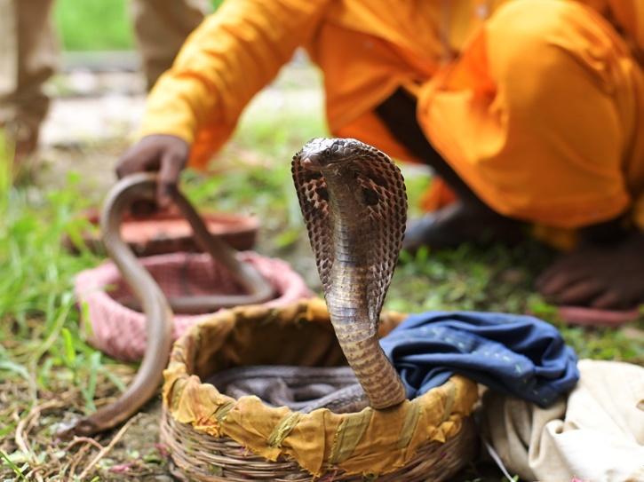 A rescued cobra