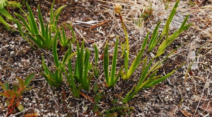 False Asphodels - the meat-eating plant