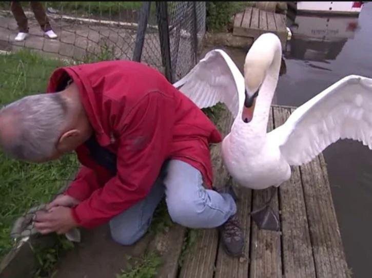 mother swan attacks man