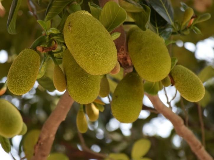 jackfruits hanging on a tree