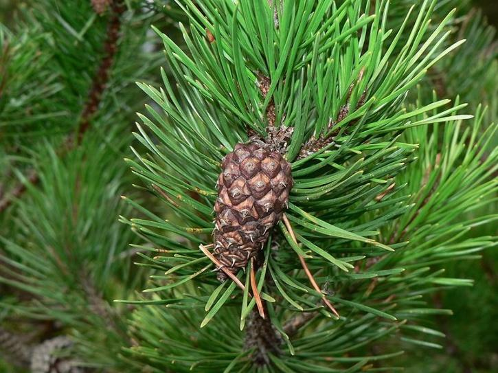 pine needle paper