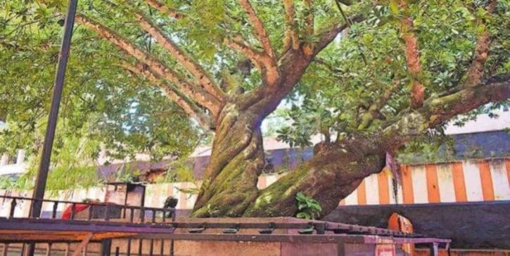 Kerala Tree