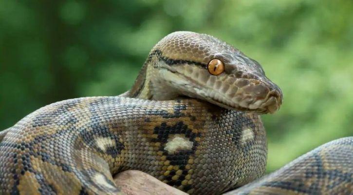 python squalene vaccine