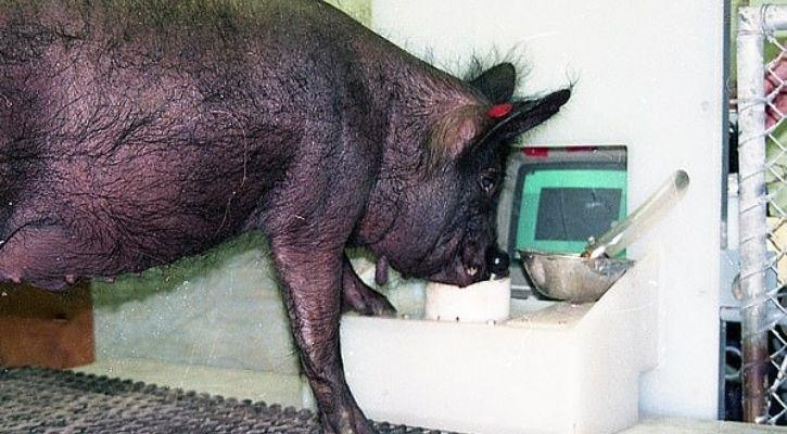 Pigs gaming