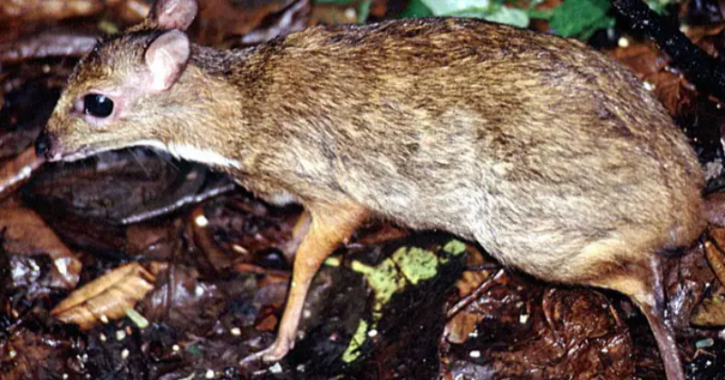 The footage caught a rare glimpse of the rare Java mouse-deer, the smallest hoofed animal in the world,