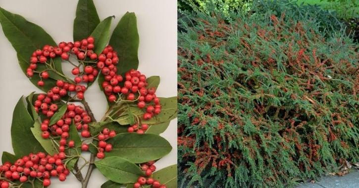 cotoneaster plant pollution absorption