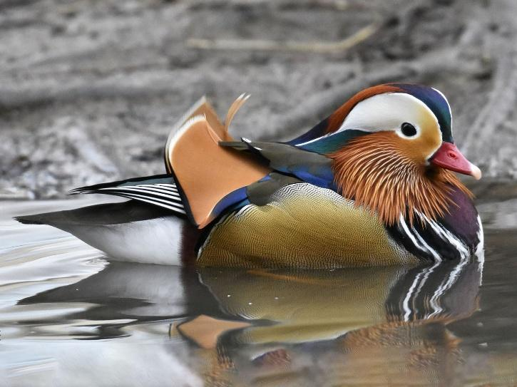 The mandarin duck has a distinctive, elaborate plumage and it nests in trees.
