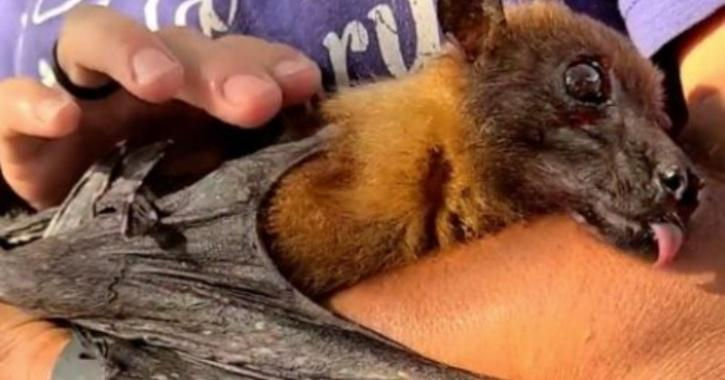 A video of a very senior bat trying to fly is currently going viral on social media