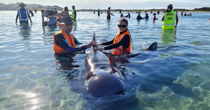 Rescuers race to save dozens of pilot whales that beached on a stretch of New Zealand coast.