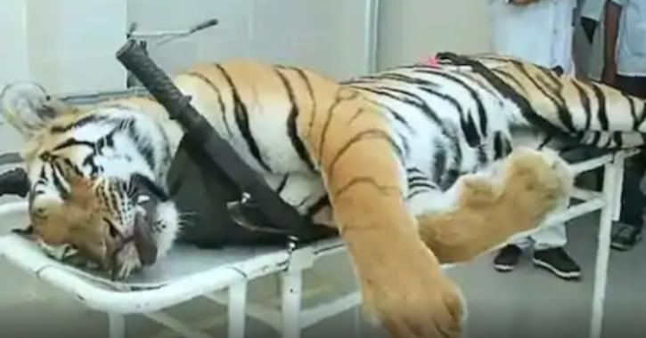 avni tigress
