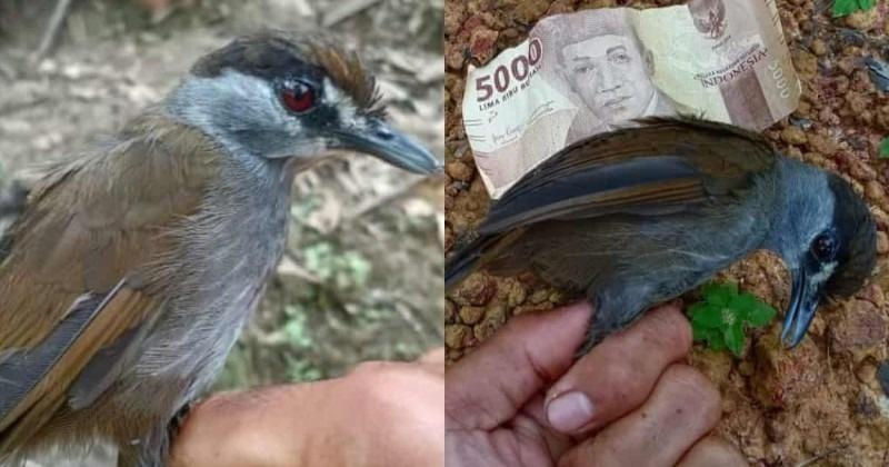 Burung Yang Tidak Terlihat Selama 170 Tahun Dan Ditakuti Punah, Muncul  Kembali Di Kalimantan, Indonesia – Netral.News