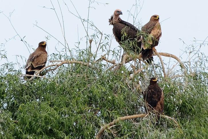 vulture india