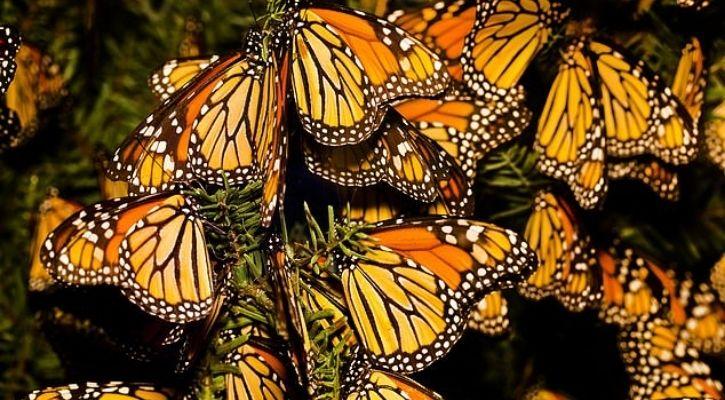 monarch butterflies extinct