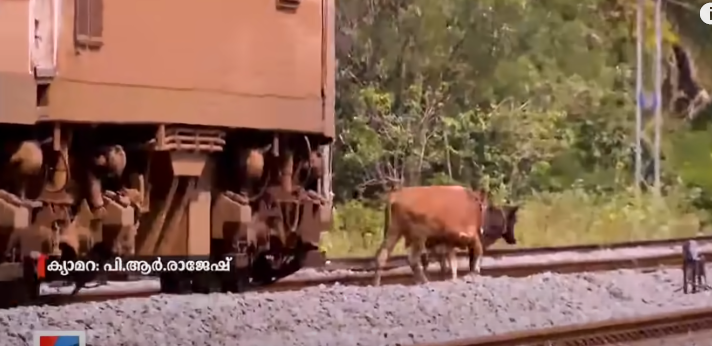 s, two cows can be seen standing on the railway track