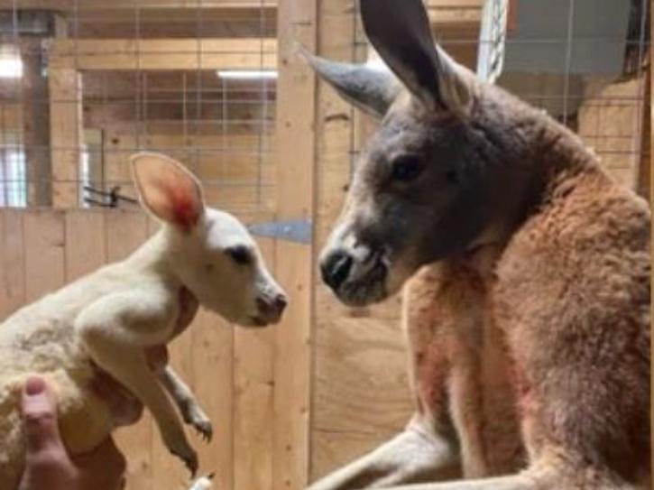 the mother kangaroo