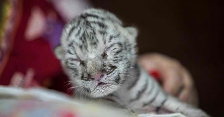 white tiger Nicaragua
