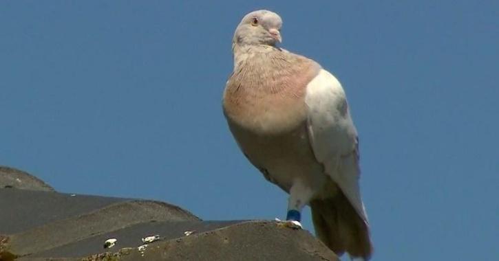 Joe The Pigeon