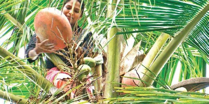 As she climbs coconut trees to tap toddy everyday, the thoughts about her brother Ratheeshan